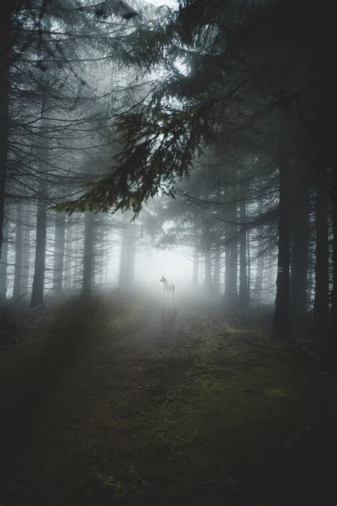 Wallpaper White Wolf, Majestic, Forest, Trees, Foggy