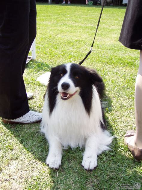 A legokosabb kutya - A Border collie