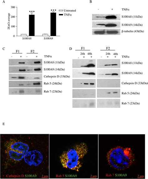 TNFα increases intracellular production of S100 proteins