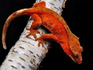 Crested Gecko (Rhacodactylus ciliatus) - Facts and Pictures